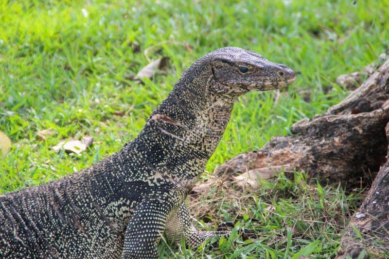 一只大被称的监控蜥蜴在一个公园在泰国在草寻找 库存照片