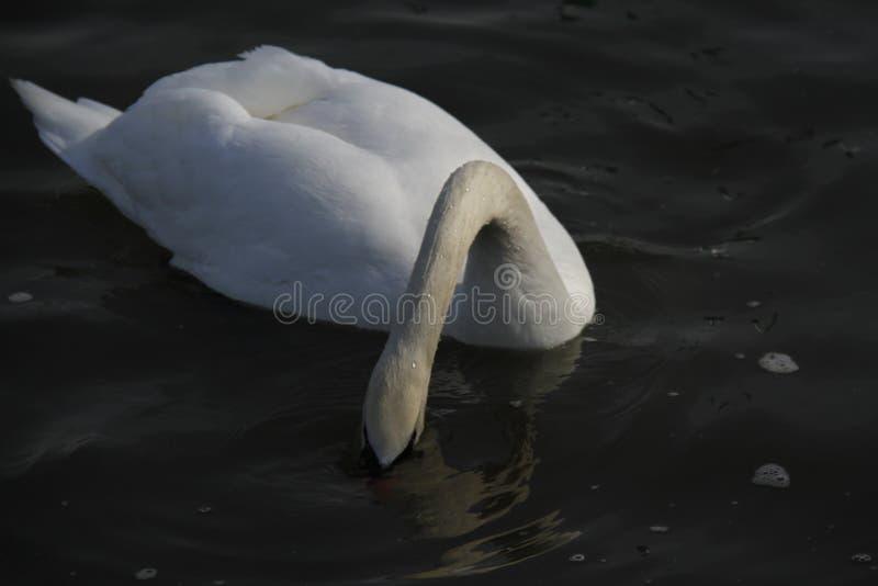 一只幼小天鹅在水镇静地游泳 图库摄影