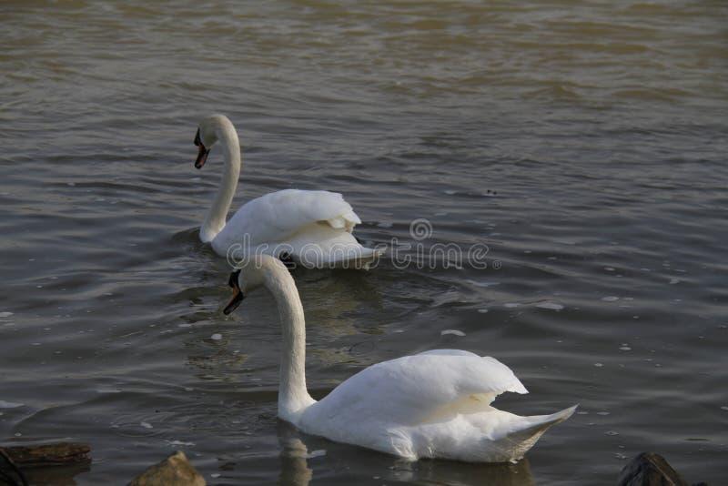 一只幼小天鹅在水镇静地游泳 免版税库存图片