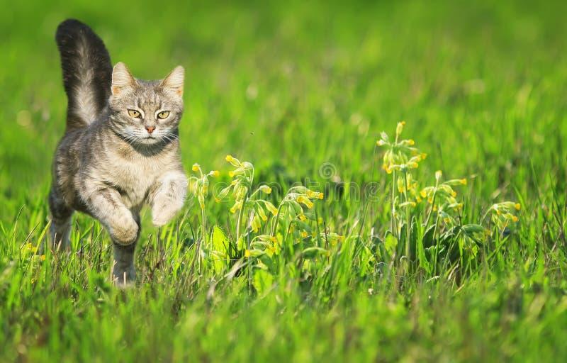 一只幼小猫横跨有花的一个绿色明亮的草甸温文地跑在一个晴朗的清楚的春日 免版税库存图片