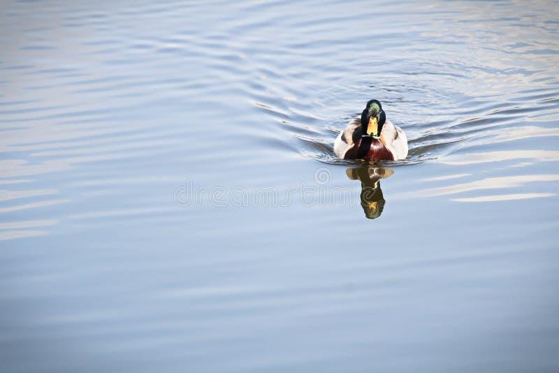 一只公野鸭游泳往照相机 免版税库存照片