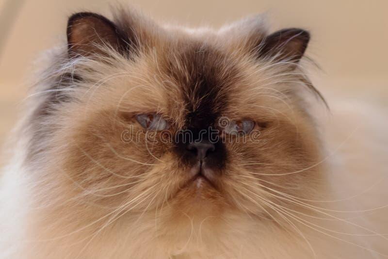 一只喜马拉雅猫的面孔的特写镜头 免版税图库摄影