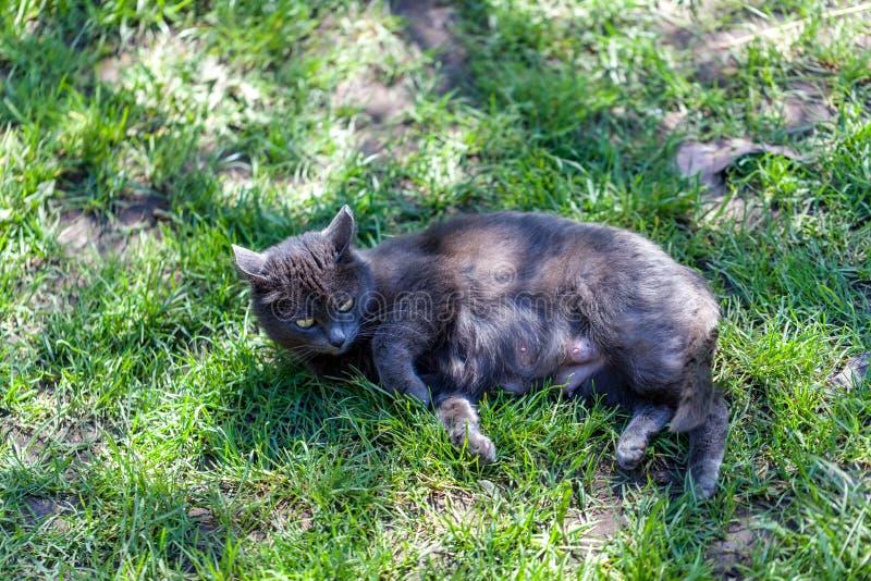 一只灰色猫说谎 免版税库存图片