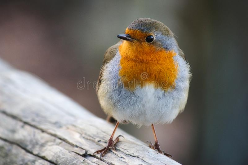 一只美丽的知更鸟的特写镜头画象与在分支栖息的红色乳房的 免版税库存图片