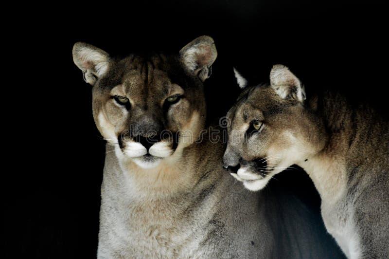 一头俘虏美洲狮美洲狮的亦称特写镜头画象在一个动物园里在南非 免版税库存图片