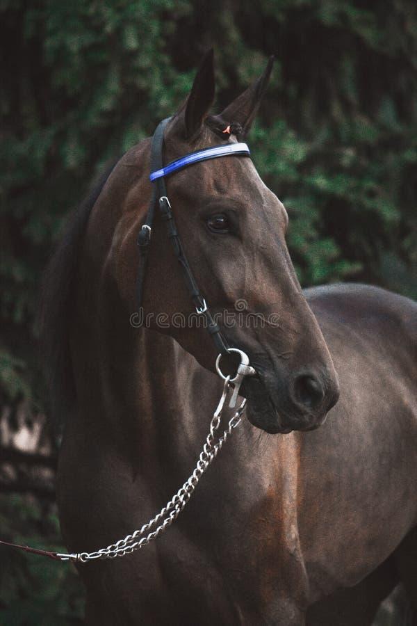 一匹棕色体育马的画象在绿色冷杉木背景的 免版税库存照片