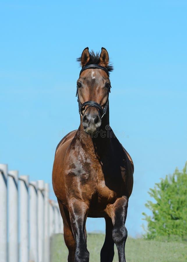 一匹美丽的棕色体育马的画象在自由的在行动 正面图 图库摄影