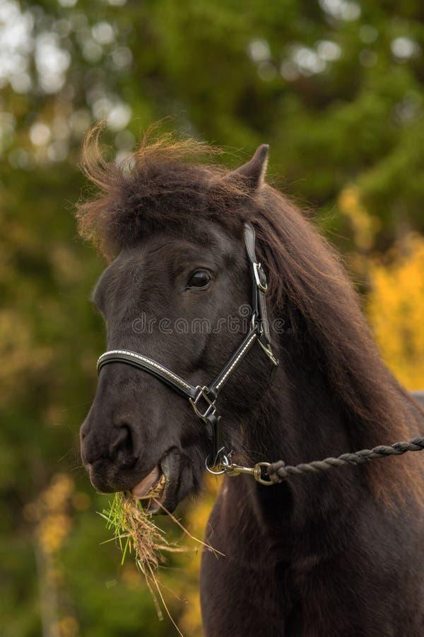 一匹黑冰岛马的头像与草的在它的嘴 免版税库存图片