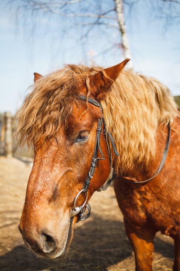 一匹curly-headed红色马的画象在一个晴朗的稳定的围场 免版税库存照片