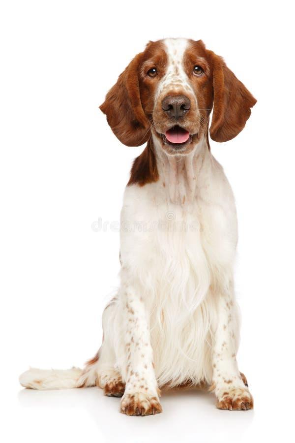 一条幼小威尔士猎Z狗的画象 库存图片