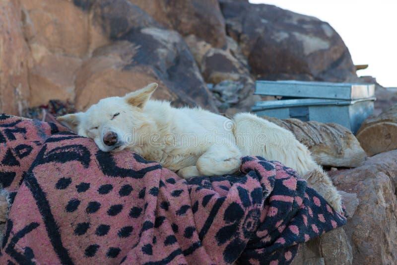 一条白色狗基于一条床罩在一个流浪的村庄 库存照片