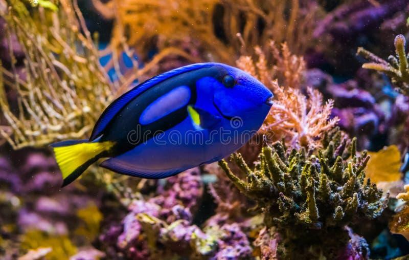 一条蓝色特性矛状棘鱼的特写镜头,普遍的热带水族馆宠物,从太平洋的异乎寻常的鱼 免版税库存图片