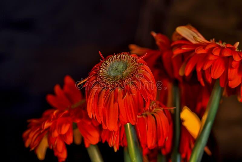 一束橙色雏菊 库存照片