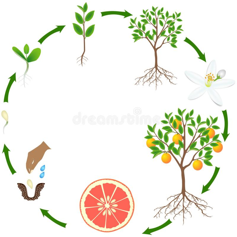 一棵葡萄柚植物的生命周期白色背景的 库存例证