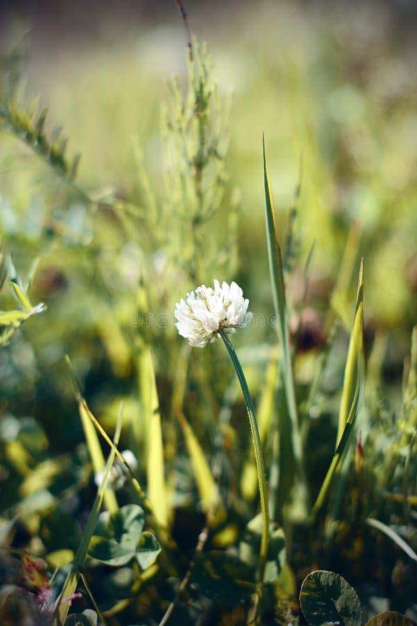 一朵孤立蓬松白三叶草花在领域中间增长 图库摄影