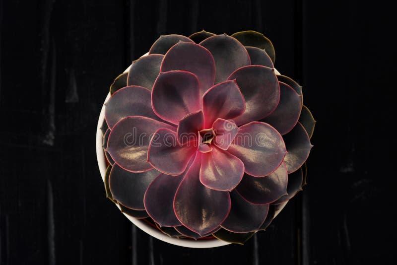 一朵红色和淡紫色多汁花的特写镜头 留下瓣 增长和自然的概念 库存图片