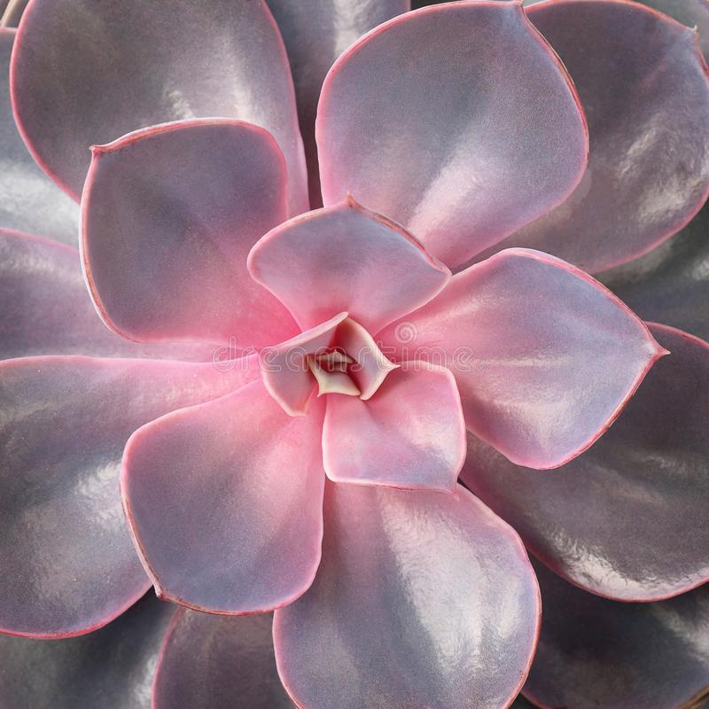 一朵红色和淡紫色多汁花的特写镜头 留下瓣 花店的概念 免版税库存照片