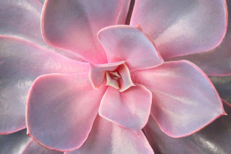 一朵红色和淡紫色多汁花的特写镜头 留下瓣 花店的概念 库存图片