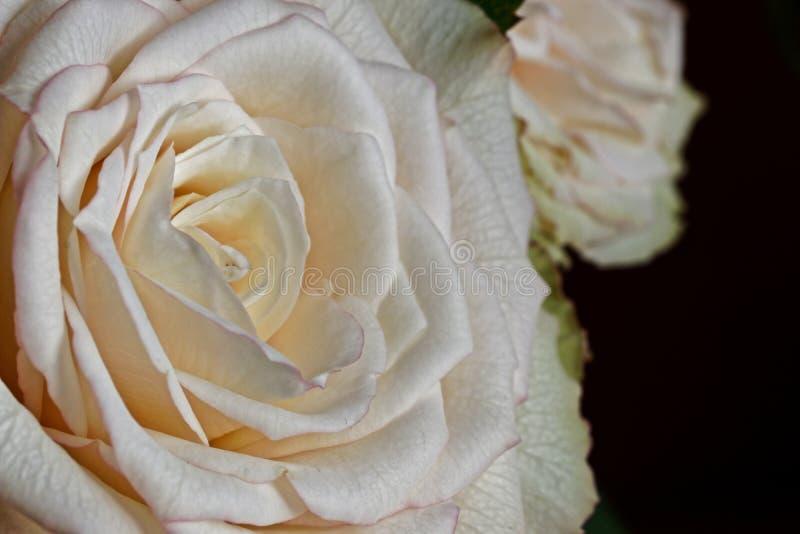 一朵白色玫瑰色花的宏指令 免版税库存照片