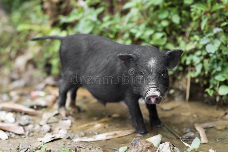 一点逗人喜爱的黑小猪在一个农场在Sapa,老街市,越南 免版税图库摄影