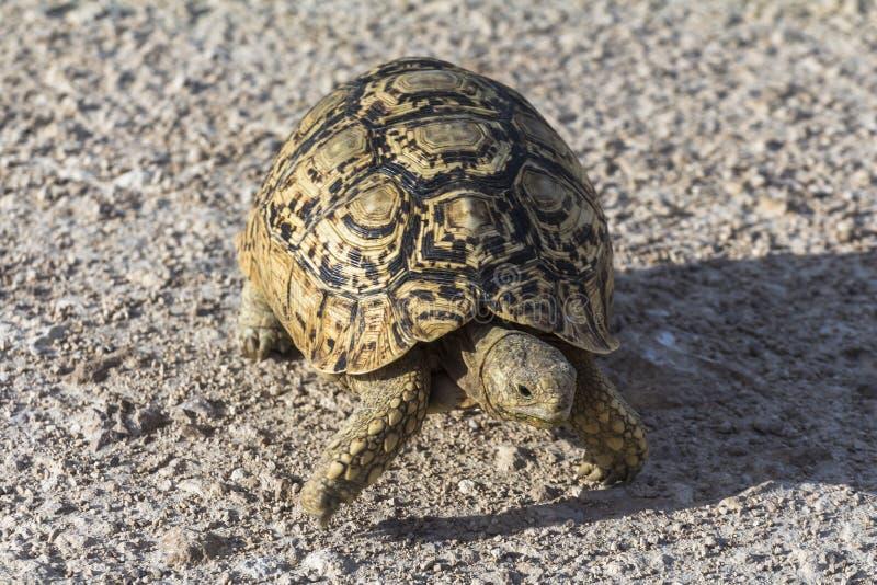 乌龟在Etosha公园,纳米比亚 免版税图库摄影