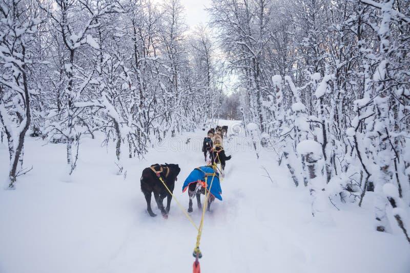 乘坐在冬天风景的扣人心弦的经验一个狗雪撬 斯诺伊森林和山与狗队 免版税库存照片
