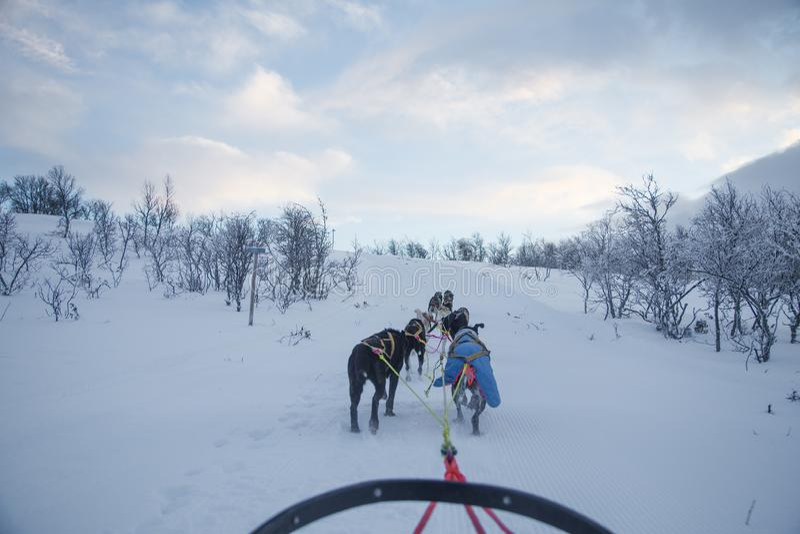 乘坐在冬天风景的扣人心弦的经验一个狗雪撬 斯诺伊森林和山与狗队 库存图片