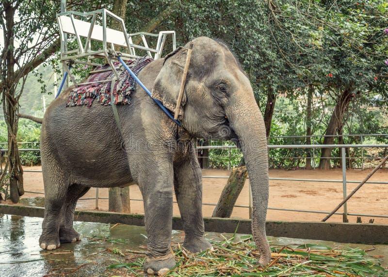乘坐的游人的大象 库存图片