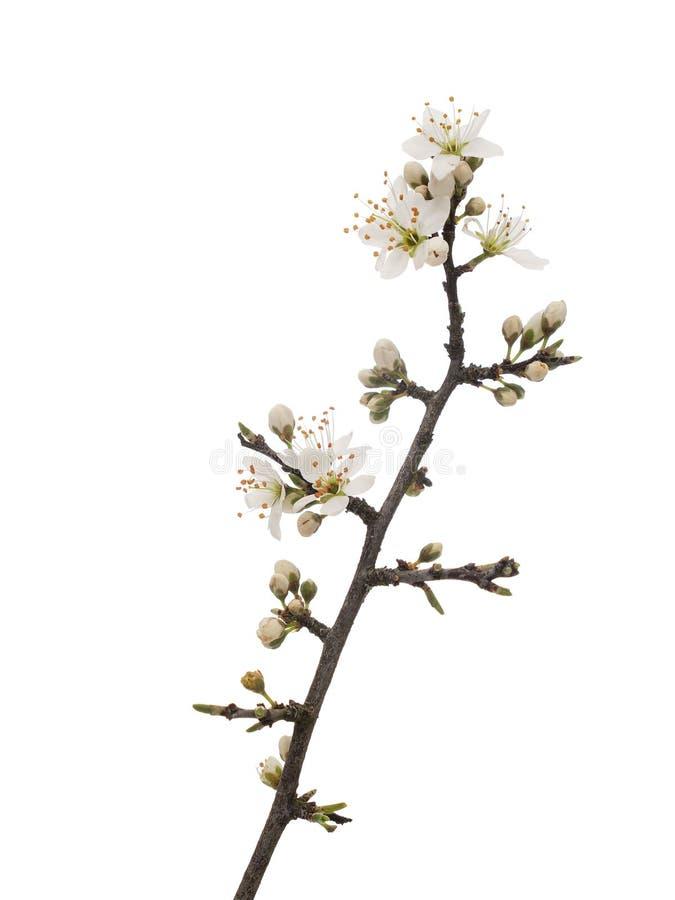 亦称李属spinosa,黑刺李黑刺李开花春天,隔绝在白色背景 精美白花,关闭 免版税库存图片