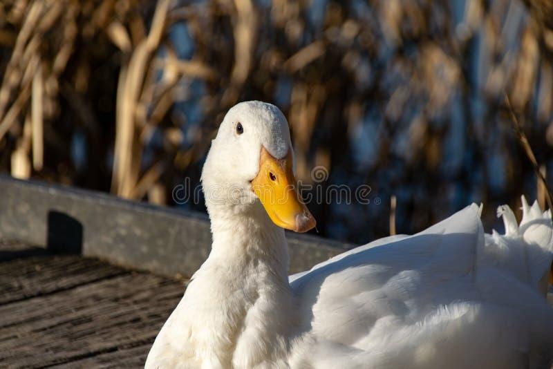 亦称画象白色重的鸭子-美国人Pekin艾尔斯伯里或长岛鸭子 库存图片