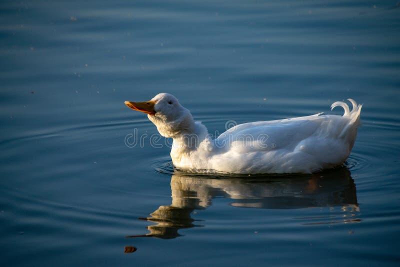 亦称重的白色鸭子,美国人Pekin鸭子震动他的头和羽毛的艾尔斯伯里鸭子 库存照片