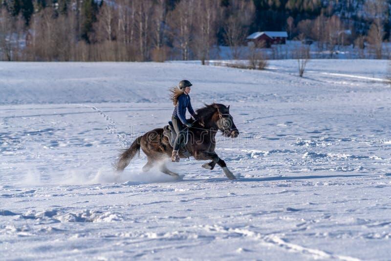 享受在她的冰岛马的年轻瑞典妇女乘驾在冬天 免版税库存图片