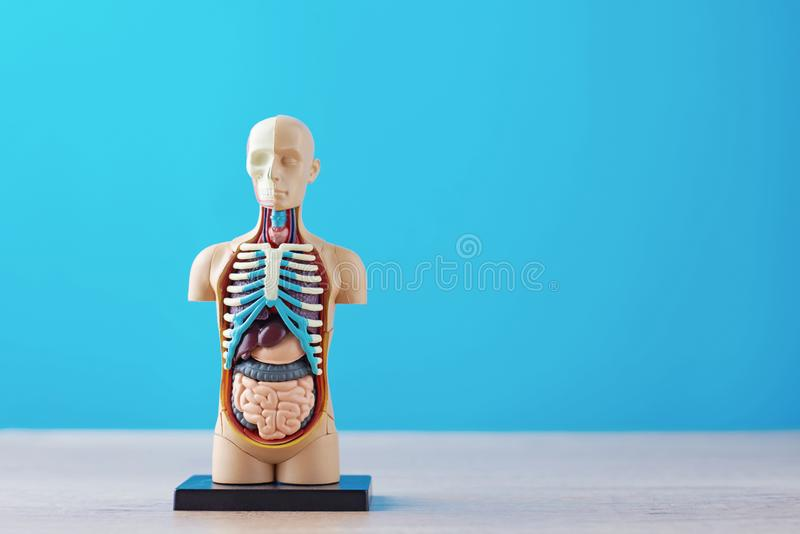 人体解剖模型与内脏的在蓝色背景 解剖学身体时装模特 图库摄影