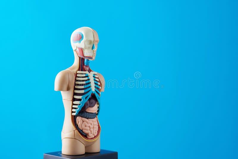 人体解剖模型与内脏的在蓝色背景 解剖学身体时装模特 库存图片