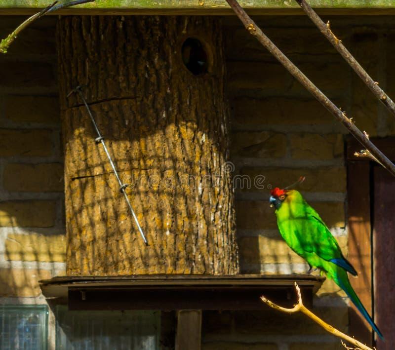 五颜六色的有角的长尾小鹦鹉坐在它的鸟房子的,从新喀里多尼亚,被威胁的鸟硬币的鹦鹉以脆弱的状态 库存照片