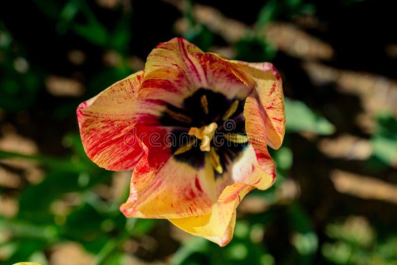 五颜六色的新郁金香花绽放在庭院里 库存图片