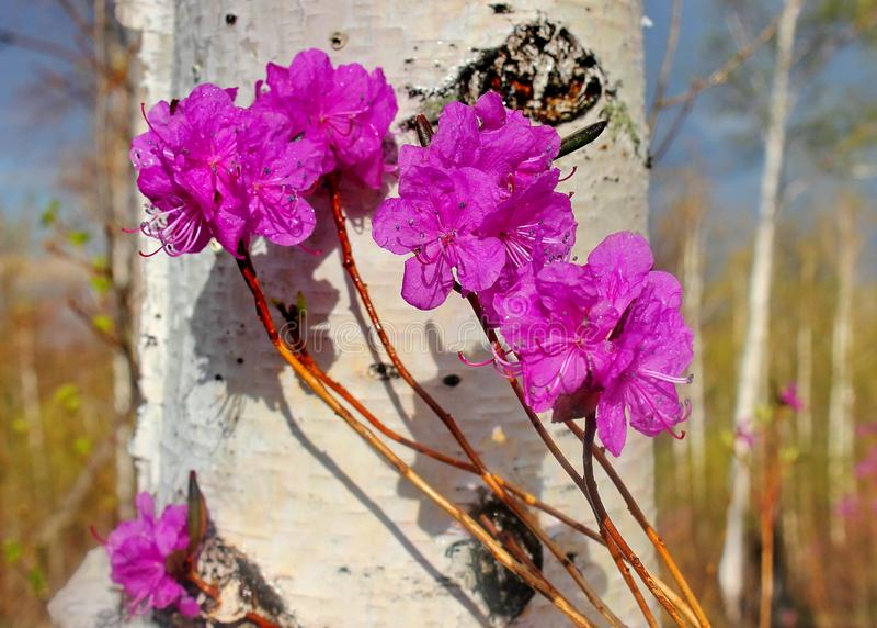 以白桦为背景的喇叭茶 桃红色白色 我们的春天森林和小山美妙的秀丽  早期的春天 库存照片
