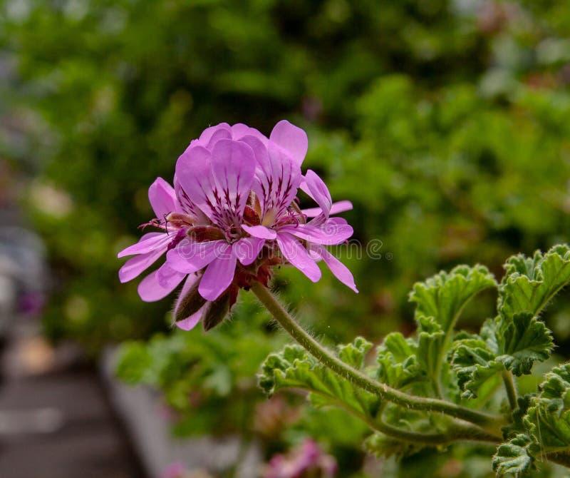从异乎寻常的紫色开花关闭  库存照片