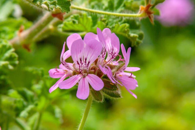 从异乎寻常的紫色开花关闭  免版税库存图片