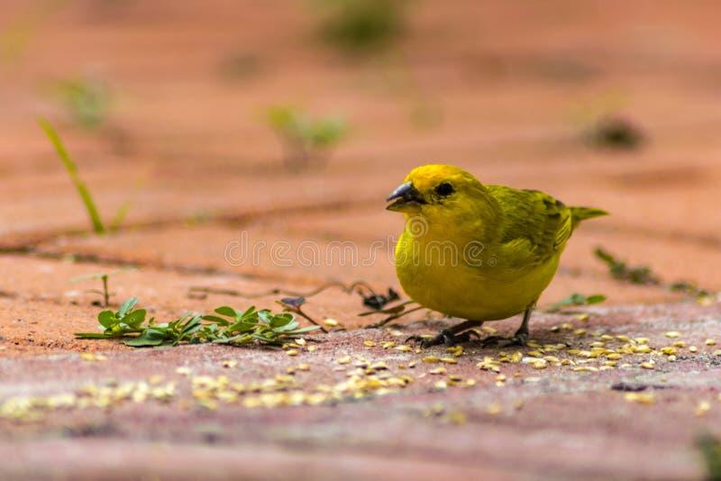 从地面birdeseed的逗人喜爱小黄色鸟吃 库存图片