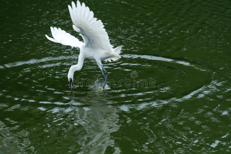 从河的白鹭抓住鱼,在深绿背景中 库存照片