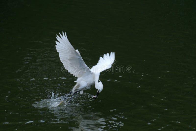从河的白鹭抓住鱼,在深绿背景中 库存图片