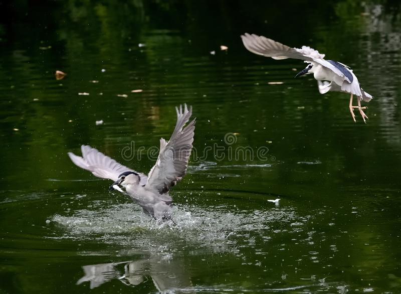从河,在深绿背景中跟随的,其他的一条白鹭抓住鱼 库存图片