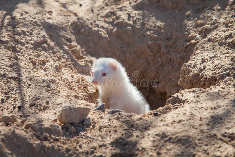 从洞穴出来的白变种白鼬 免版税库存照片