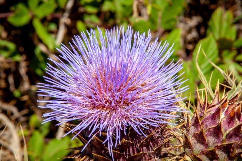 从紫色蓟开花关闭  库存图片