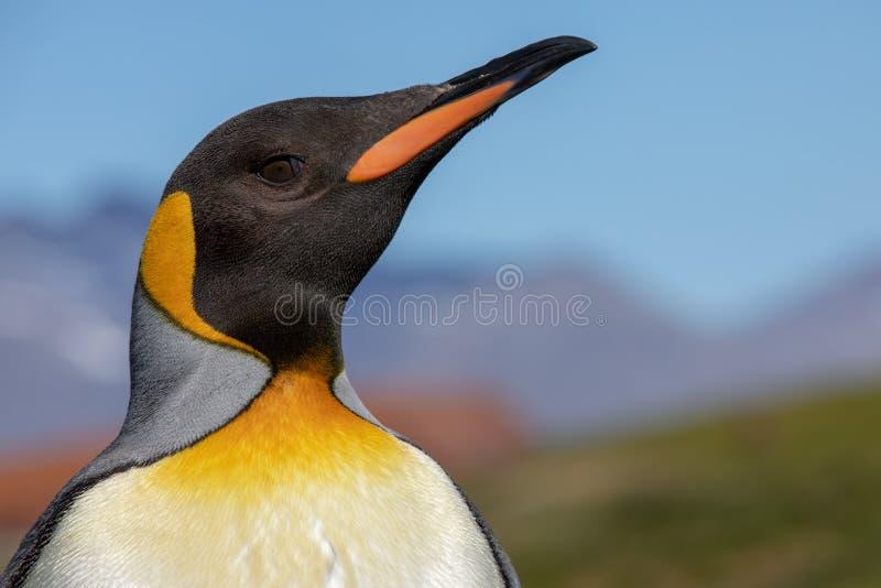 企鹅国王 企鹅国王的头的特写镜头 免版税库存图片
