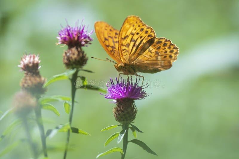 似梦幻般的设置的蝴蝶银被洗涤的贝母,Argynnis paphia 库存照片
