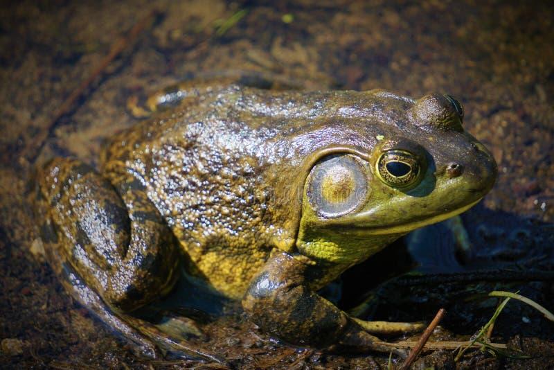伟大的美国牛蛙 免版税库存图片