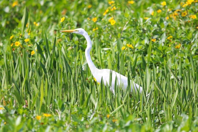 伟大的白色白鹭在奥兰多佛罗里达 免版税库存照片