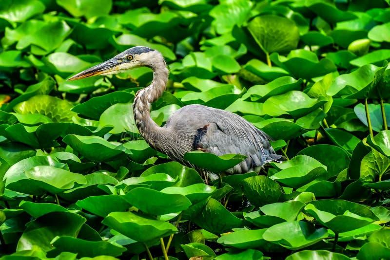 伟大蓝色的苍鹭的巢朱厄妮塔海湾公园华盛顿湖柯克兰Washingon 免版税库存图片